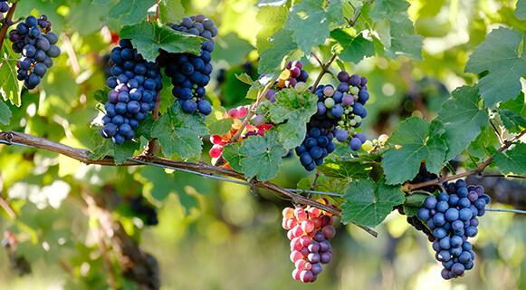 Vineyards near Los Molinos CA